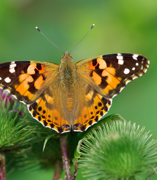painted lady butterfly flying