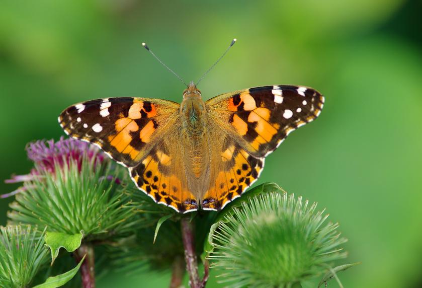 Package #4: Wedding Butterfly Release - Berkshire Butterflies