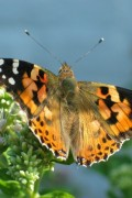 beautiful painted lady